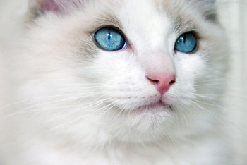 Face of bicolor ragdoll kitten, showing blue e...