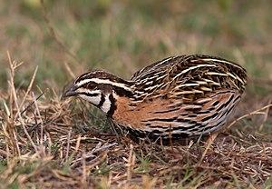 Rain quail - Male rain quail
