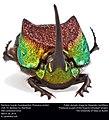 Rainbow Scarab (Scarabaeidae, Phanaeus vindex) (26076939421).jpg