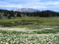 Ranunculus alpestris3.jpg