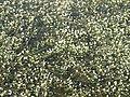Ranunculus aquatilis (habitat).jpg
