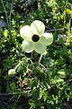 Ranunculus asiaticus kz1.jpg