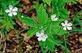 Ranunculus platanifolius kds 01.jpg