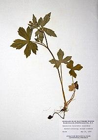 Ranunculus recurvatus var. recurvatus BW-1979-0522-0590.jpg