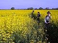 Rapeseed field at Braceborough and Wilsthorpe, Lincolnshire - geograph.org.uk - 487292.jpg