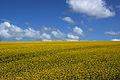 Rapeseed field in Ireland.jpg