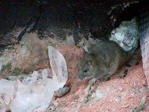File:Rattus norvegicus 4326.ogv