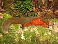 Red-bellied Squirrel dead hunted.jpg