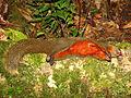 Red-bellied Squirrel dead hunted.jpg