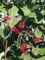 Red-berried Elder (Sambucus racemosa) - geograph.org.uk - 532665.jpg