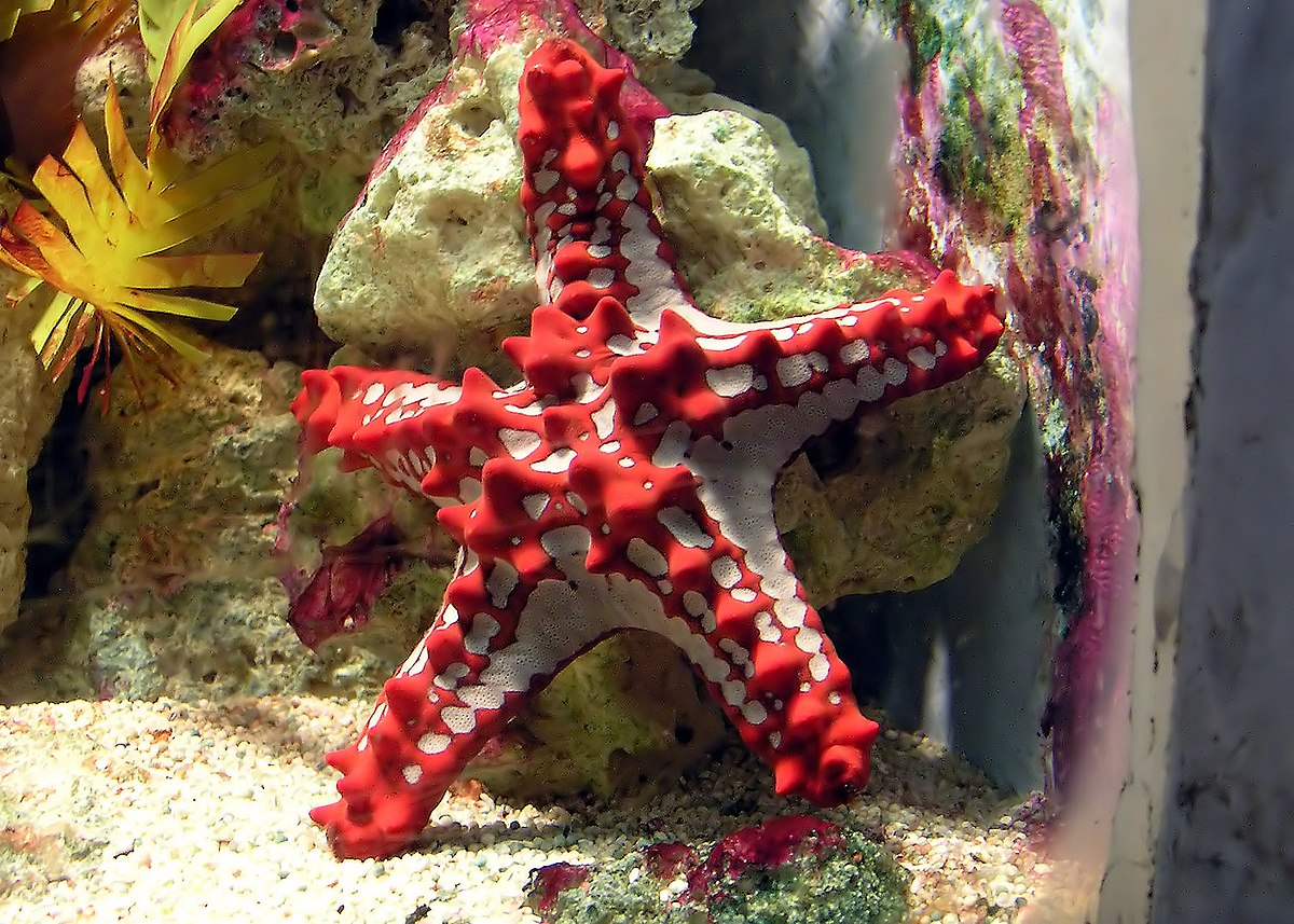 starfish simple english the encyclopedia