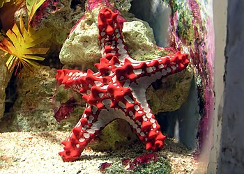 Red-knobbed Starfish Protoreaster linckii at B...