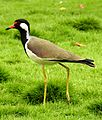 Red-wattled Lapwing Vanellus indicus by Dr. Raju Kasambe DSCN2162 (3).jpg