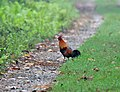 Red Junglefowl (Gallus gallus) at 23 Mile near Jayanti, Duars, West Bengal W IMG 5861.jpg