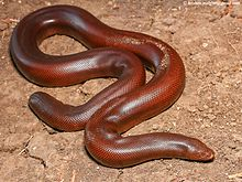 Red Sand Boa Eryx johnii by Ashahar alias Krishna Khan.jpg