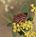 Red and Black bug Graphosoma italicum (3821951725).jpg