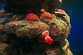 Red anemone (25745270507).jpg