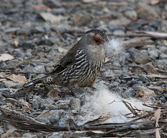 Red-browed treecreeper - collecting fur as nesting material