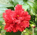 Red coloured Hibiscus rosa-sinensis.JPG