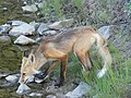 Red fox drinking 02.JPG