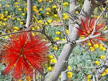 Red stings tree flower.jpg