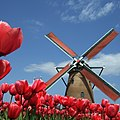 Red tulips - Flickr - fhisa.jpg