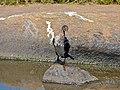 Reed Cormorant (Phalacrocorax africanus) juvenile (11465671644).jpg
