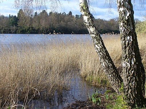 Reeds on Virginia Water - geograph.org.uk - 1803513