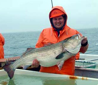 Striped bass - A researcher holding up a large striped bass