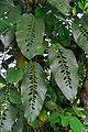 Rhaphidophora foraminifera.jpg
