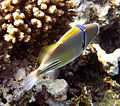Rhinecanthus assasi - Rotmeer-Picassodrueckerfisch 0949a.jpg