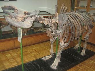 Binagadi asphalt lake - Skeleton of Rhinoceros binagadiensis (Pleistocene), which was found in Binagadi asphalt lake. Natural-Historical Museum after Hasan bey Zardabi. Baku