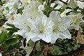 Rhododendron 'Glacier' Flowers 3008px.jpg