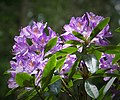 Rhododendron Species (35856476645).jpg