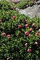 Rhododendron campylogynum kz03.jpg