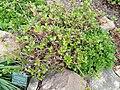 Rhododendron mucronulatum - Copenhagen Botanical Garden - DSC07477.JPG