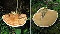 Rigidoporus microporus (12956088693).jpg