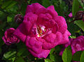 Rosa 'Perla de Alcanada' J1.jpg