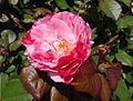 Rosa 'Scentimental' JBM 1.jpg