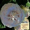 "Rosa ""Colonial White"" o ""Sombreuil"". 01.jpg"