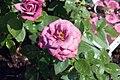 Rosa Lavender Sunblaze 0zz.jpg