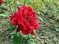 Rosa Papa Meilland 2019-06-05 6422.jpg