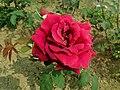 Rosa Papa Meilland 2019-06-06 9196.jpg