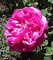 Rosa baronne prevost.jpg