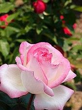 Rose,Princesse de Mpnaco,バラ,プリンセス ドゥ モナコ, (8119206294).jpg