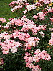 Rose, Hana-gasumi, バラ, 花霞(はながすみ), (13159307113).jpg