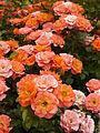 Rose, Old John, バラ, オールド ジョン, (12874441793).jpg