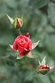 Rose, Princess Chichibu - Flickr - nekonomania (1).jpg