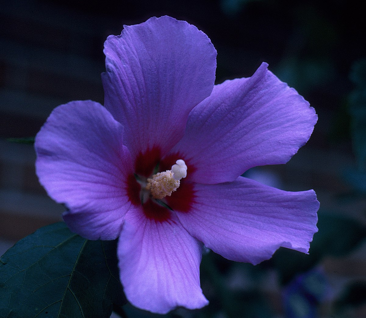 Rose of Sharon or Althea -- Hibiscus syriacus.jpg