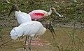 Roseate Spoonbill (Platalea ajaja) and Wood Storks (Mycteria americana) (29006037801).jpg